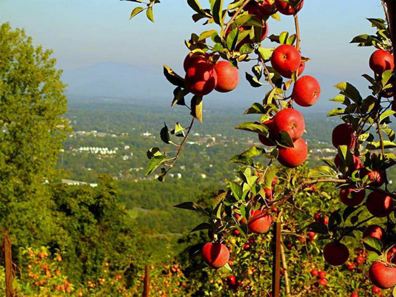 Apples hanging from tree at Carter's Mountain Orchard.