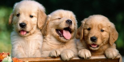 Golden retriever puppies at Gap View Ranch and Kennel