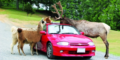 Llama and Elk interacting with people in car at the Virginia Safari Park.