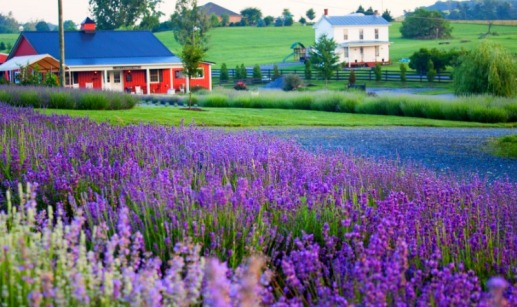Source: http://www.valleyrootsteam.com/wp-content/uploads/sites/44/2016/06/lavender_farm_wide_view__large.jpg