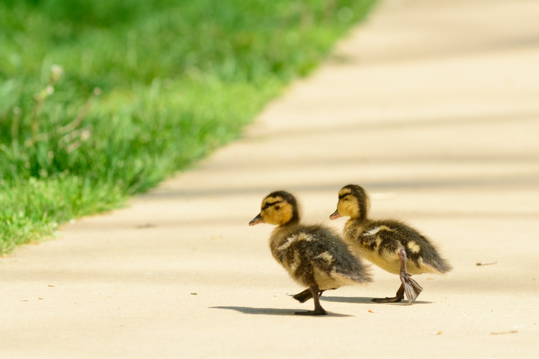 233125 Baby Ducks Select-1003.jpg