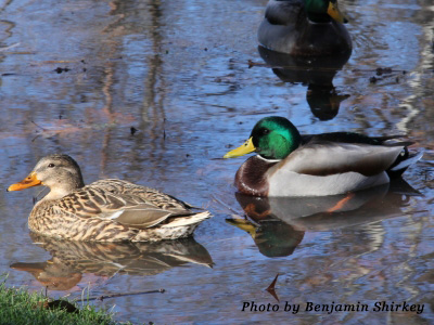 mallards-display-by-benjamin-shirkey